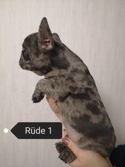Traumhafte Französische Bulldogge Welpen in