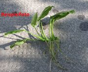 Anubias Speerblatt Wasserpflanze Aquarium