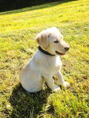 Traumhaft süße Labrador Welpen abzugeben