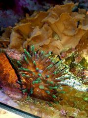 Meerwasser Blasenanemone ca 6cm grün