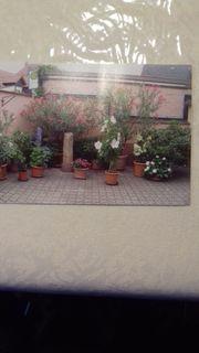 div Oleander