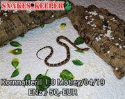 Kornnattern Pantherophis guttatus