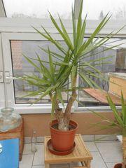 Yucca Palme ca 130 cm
