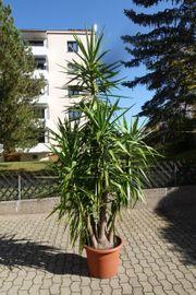 Yucca Palme ca 3 60