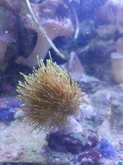 Meerwasser Korallen Sps Pilzleder Anemonen
