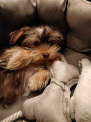 Yorkshire Terrier Welpe 12 Wochen