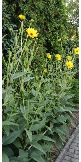 Pflanzen - Mehrjährige Blumen pflanzen Stauden Bäumchen