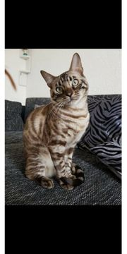 Deckkater Bengal seal mink charcoal