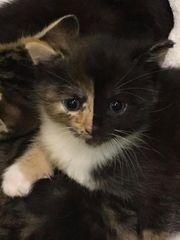 Suche schildpatt Mai Kätzchen