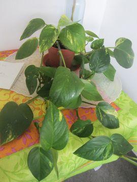 Bild 4 - Zimmerpflanzen Gummibaum Begonie Yucca Bogenhanf - München Schwabing-West