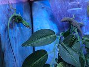 Rotkehlanolis lat Anolis carolinensis 29
