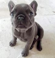 Megasüße Französische Bulldoggen Welpen