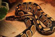 Pythons 1 Jahr alt