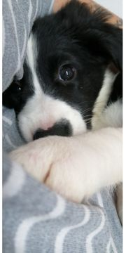 Border Collie Mix Welpe