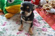kleiner Chihuahua Junge