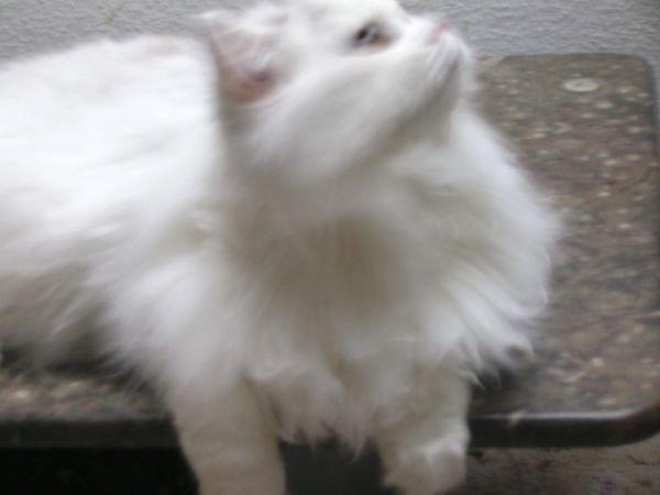 Toller Prachtkater bkh » Katzen