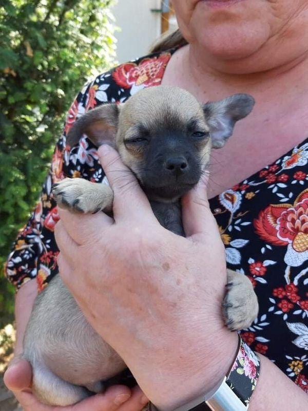 Chihuahua Rüde In Ammern Hunde Kaufen Und Verkaufen über Private