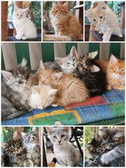 Main Coon NorwegerMix Kitten