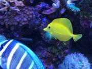 Zebrasoma flavescens - Zitronenflossen Doktorfisch