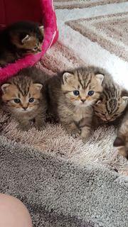 BKH Scottich Fold Kitten