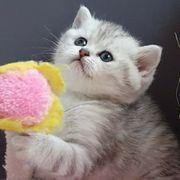 Katzen Babys BKH Kitten mit