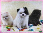 Pomeranianwelpen gescheckt,weiß