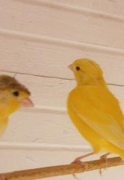 5 junge Kanarien Kanarienvögel von