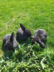 Kaninchen Zwergwieder 5 wochen alt