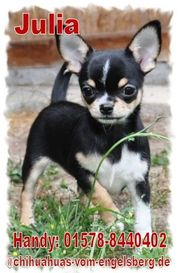 Zauberhafte Chihuahua Welpen aus erfahrener