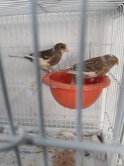 Kanarienvogel Pärchen