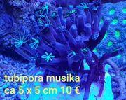 tubipora musika Korallen Meerwasser LPS