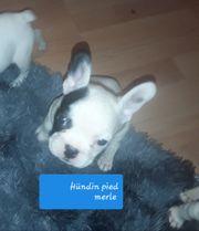 Französische Bulldoggen reinrassig dürfen ausziehen