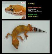 Leopardgecko Blood Tangerine Weibchen