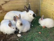 Kalifornier Kaninchen Hasen