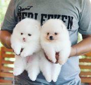 Pomeranianwelpen Zwergspitzwelpen