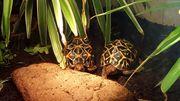 Sternschildkröten Pärchen sucht neues Zuhause