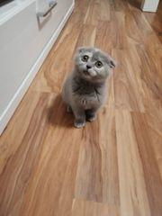 Noch ein Scottish Fold Kitten