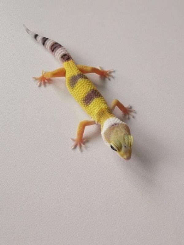 leopardgecko lemon frost
