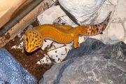 Leopardgecko Dame Blood Tangerine Tremper