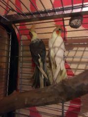 wir verkaufen 2 Papagei Corella