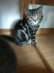 BKH Kitten Babies britisch Kurzhaar