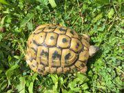 Griechische Landschildkröte T h b-Männchen