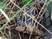 Sternschildkröten 3 adulte Weibchen und