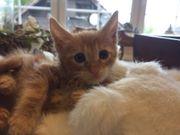 Main coone Kitten