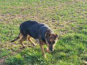 Hope - Schäferhundfans gesucht