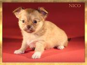Wunderschöne Chihuahuawelpen aus