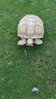 Spornschildkröte Sulcata 70 kg