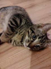 Bengal-Mix Kitten Katzenbabies