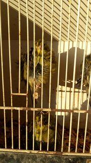 Pariser Trompeter Kanarienvögel