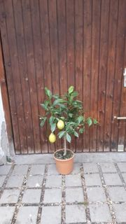 Zitronenbaum mit 2 Zitronen dran